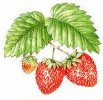 Strawberries, Oxford University Press