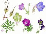 Geranium spp, A Wild Plant Year, Two Rivers Press