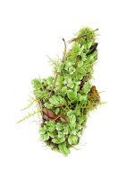 Lunularia cruciata (Liverwort), exhibition piece