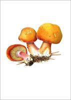 'Plums & Custard' Fungus