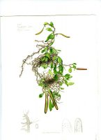 Pyrosia pilloselloides; Indonesian epiphytic fern, expedition study