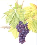 'Black Hamburgh' Grapes