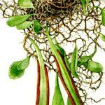 Pyrosia pilloselloides (fern)
