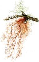 Usnea rubuginosa (lichen)