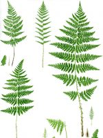 Buckler-ferns, Dryopteris spp