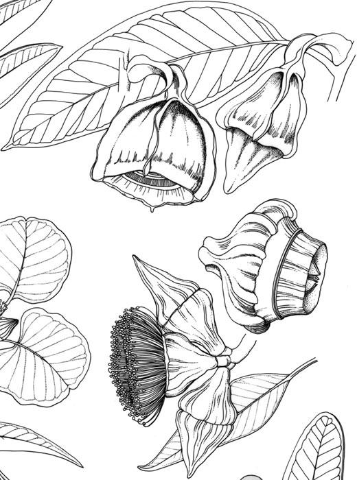 Eucalyptus tetrapteris and Eucalyptus pyriformis