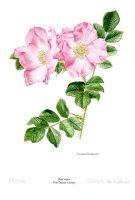 Rosa rugosa 'Frau Dagmar Hastrup'