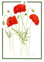 Poppies; A6, 105 x 148mm