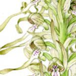 Lizard Orchid, Himantoglossum hircinum; BBC Wildlife Magazine pocket guide to orchids