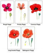 Poppy species