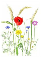 Cornfield Flowers, A Wild Plant Year, Two Rivers Press