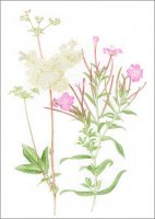 Meadowsweet and Great Willowherb