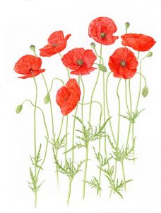 poppies for web